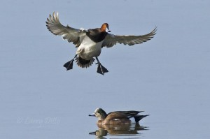 Redhead landing gear down with an American Wigeon on the Laguna Madre.
