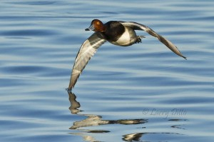 Redhead drake with wing tip in the water.