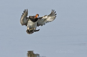 Drake redhead landing on a calm Laguna Madre.