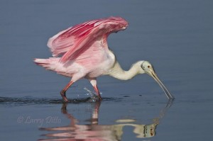 Roseate Spoonbill landing in the Laguna Madre.