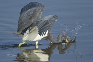 Tricolored Heron grabbing a fish in the Laguna Madre shallows.