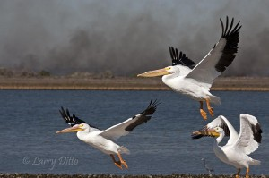 Pelicans take off with prescribed burn smoking in the background.