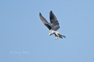 White-tailed Kite dropping on prey.