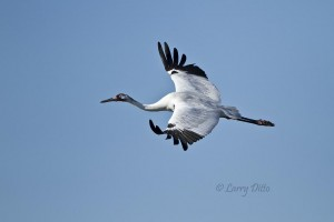 Adult whooping crane in flight.