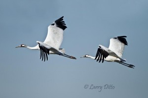 Whooper pair circling near out boat at mid-morning.