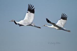 Whooping crane pair in flight.