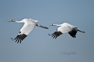 Fourth shot of a whooping crane flight series.