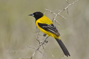Audubon's oriole waiting for a turn on the beef kidney at the hawk perch on Santa Clara Ranch.