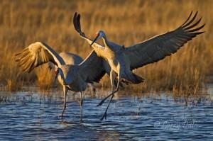 Sandhill crane pair landing in roost pond.