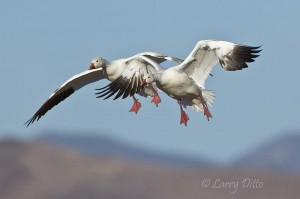Snow geese with landing gear down.
