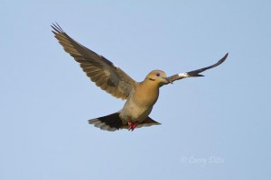 Adult white-winged dove landing.