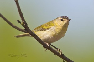 Tennessee Warbler, the plainest bird in town.