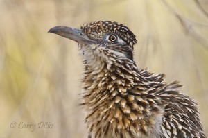 Greater roadrunner taking a dust bath.