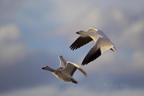 Snow geese banking toward the camera.