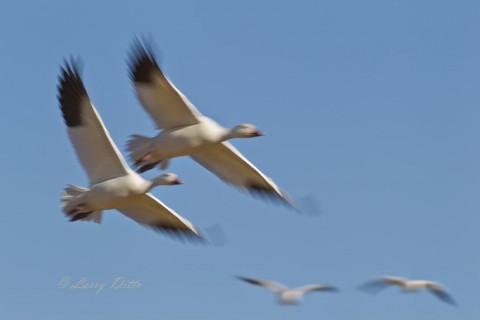 Snow Geese_51U7286