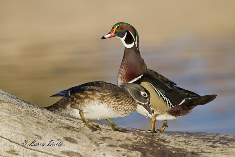 Hen and drake wood ducks standing on an old tree trunk in a pond.