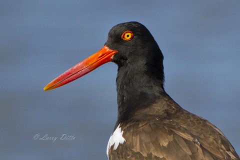 Colorful head of an American Oystercatcher from one of the oyster reefs in Aransas Bay.