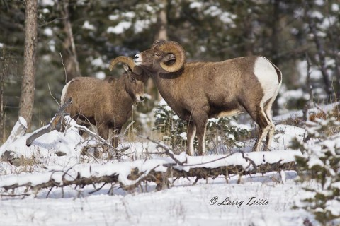 Dominant bighorn ram (right) with younger male.