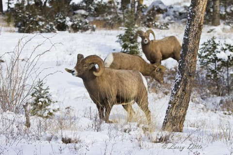 The dominant, mature ram occasionally left the ewes to keep the younger rams in line.