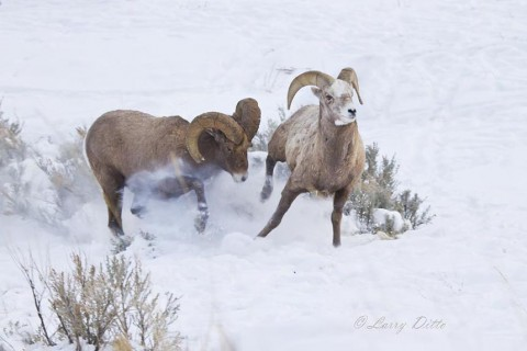 When the big rams joined the fight, the young guys scattered.