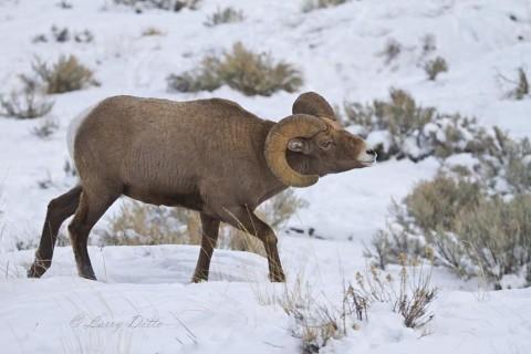 Mature bighorn ram approaching ewes during rut.
