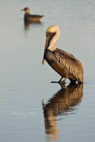 Brown Pelican resting on submerged piling in Aransas Bay.