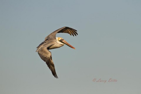 Brown Pelicans are another of the big birds the present good action photography opportunities.