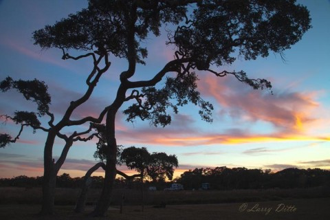 These liveoaks have been shaped by decades of coastal winds blowing inland from the bay.