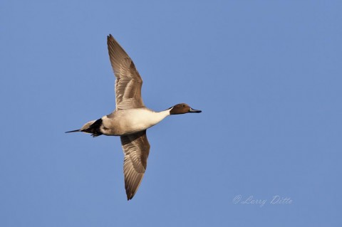 Northern Pintail drake with strong tailwind is in high gear.