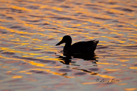 Light on the water after sunset at a northern shoveler swims into the photograph.