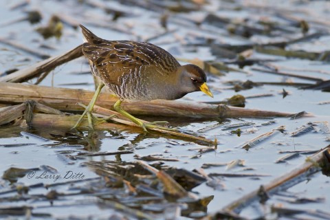 Sora using those long toes to walk on floating cattail stems.
