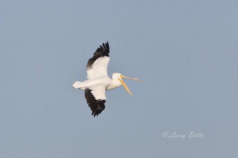 White Pelican yawning in mid-flight.