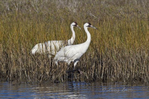 Whooping Crane pair feeding in the shallows of Sundown Bay.