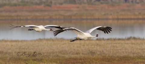 Whooping cranes watching photographer while flying over marsh.