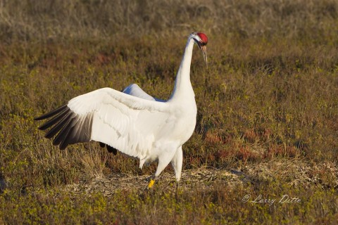 Whooping crane flashing his red crown at another crane.