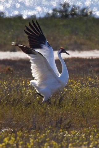 Excited Whooping Crane chasing another bird from its feeding territory.