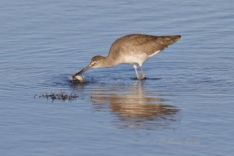 Willet with a blue crab feast.