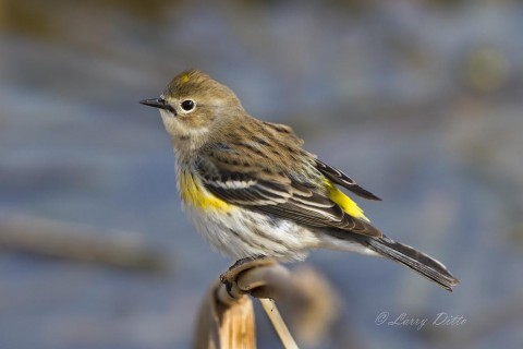 Yellow-rumped Warblers  are common winter visitors to the Texas gulf coast.