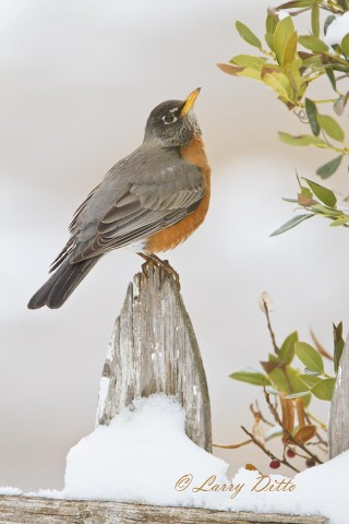 American Robin on the old picket fence.