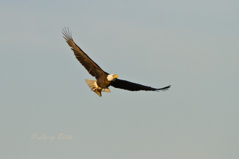 Adult eagle arriving just after sunrise with part of a fish.