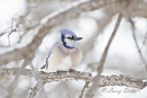 Blue Jay watching the snow flakes drift by.