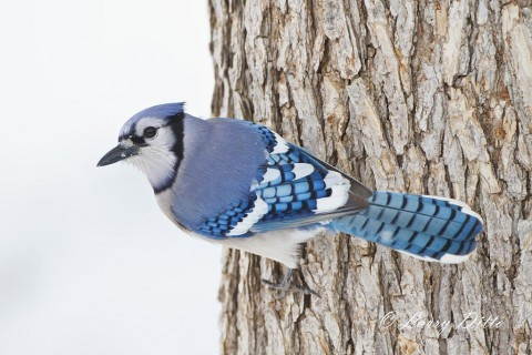 Blue Jay clinging to the bark of a cedar elm tree while it scans the snow for food.