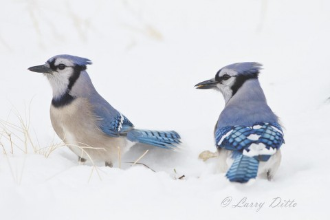 The blue jays seemed to know where every fallen acorn was located, even under several inches of snow.