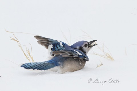 Blue Jay fighting off the grackles at it hunts for food.