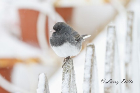 Flower pot background for a dark-eyed junco on Granny's picket fence.