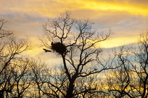 Bald Eagle landing at nest at sunset.