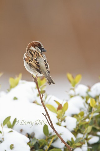 House Sparrows had no problem adjusting to the snow and -15 degree temperature.