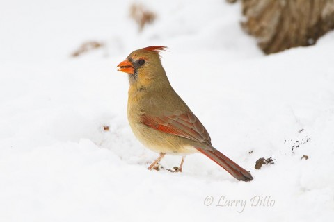Female northern cardinal on the snow.