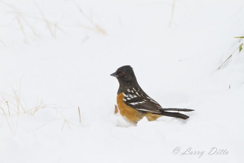 Getting this Spotted Towhee was my biggest thrill of the day.