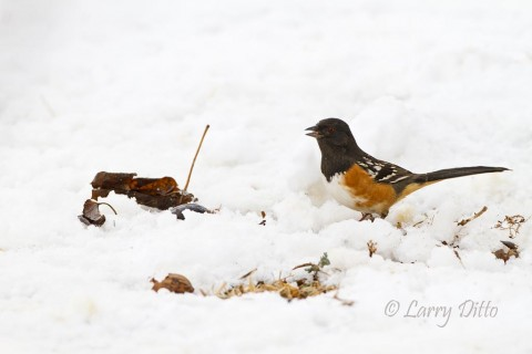 A spotted towhee emerges from under a thick hedge to scratch for seeds.